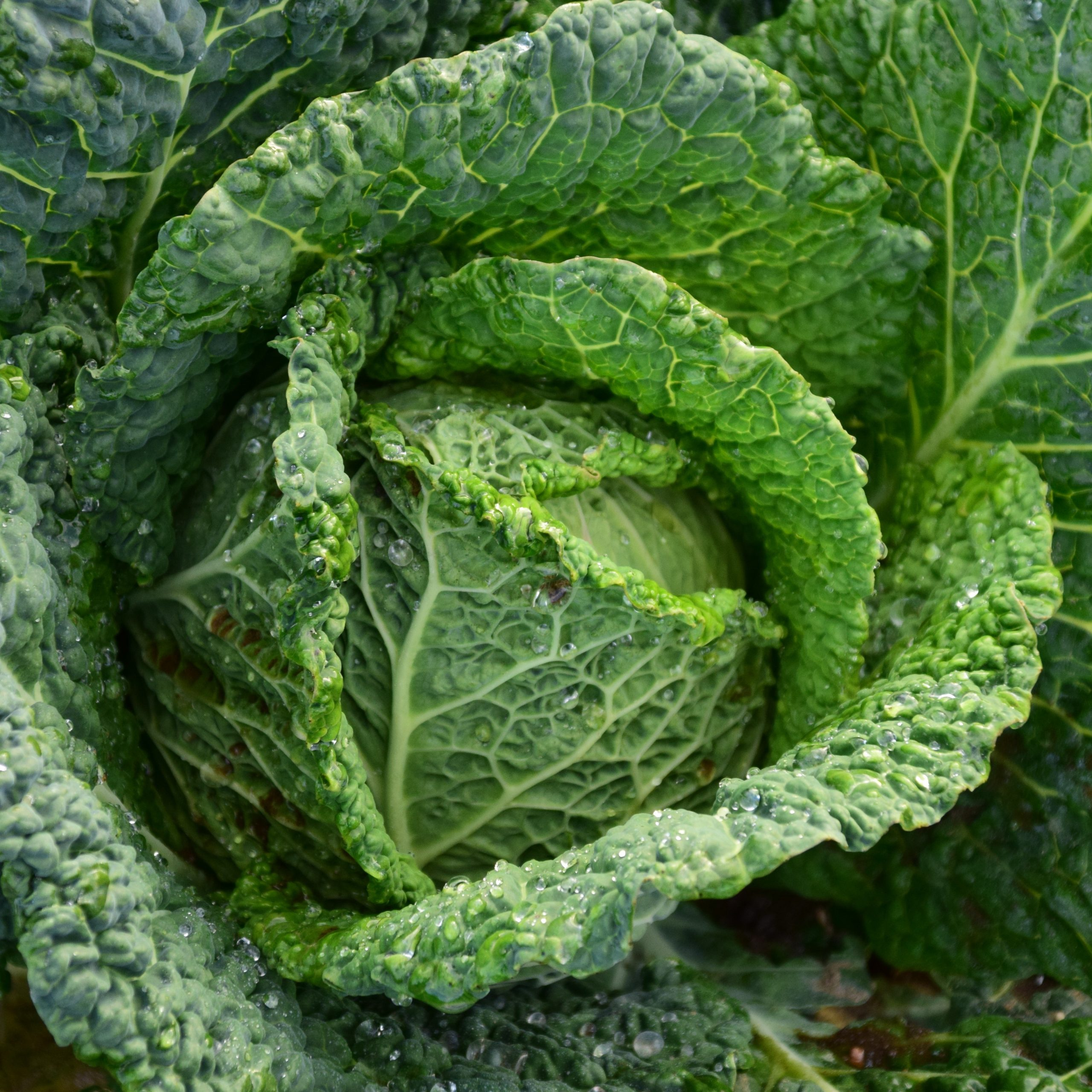 focus-photography-of-green-cabbage-209482